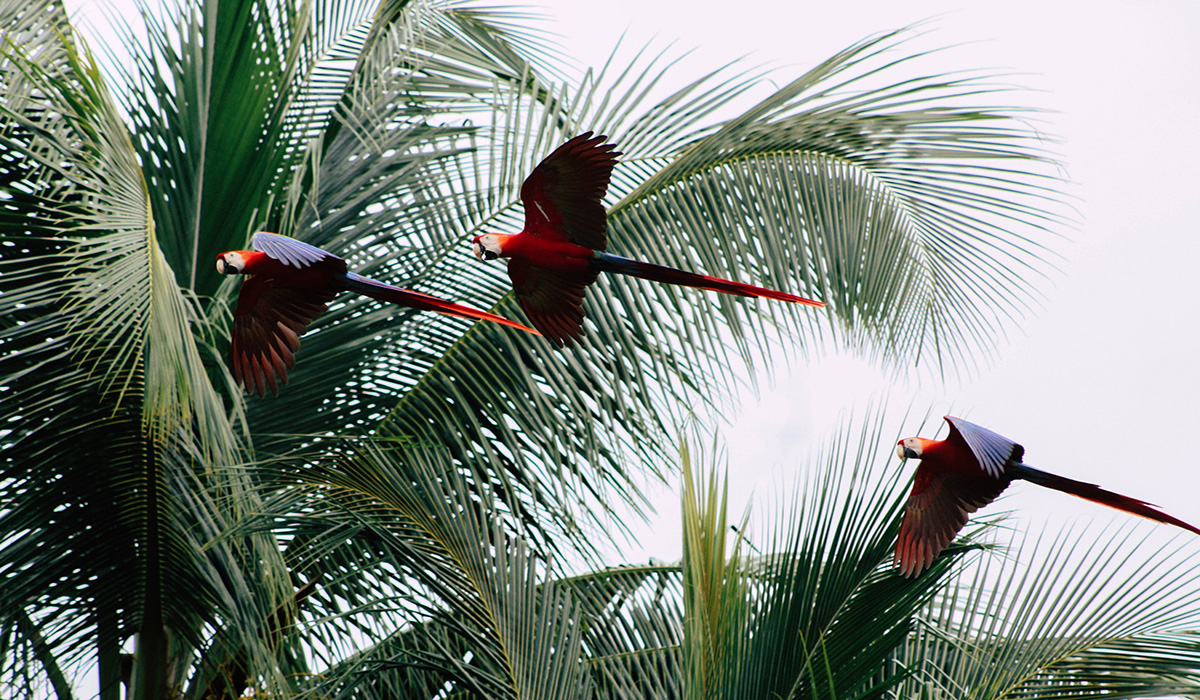 Guanacaste Province, Costa Rica Parrots Flying Palm Trees